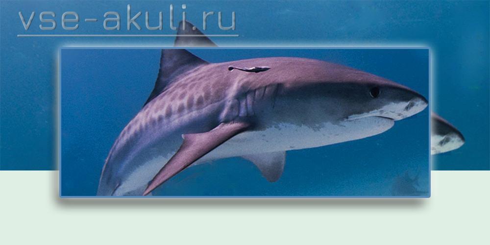 Большая тигровая акула